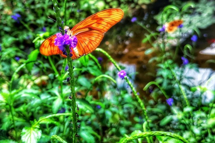 butterfly orrange